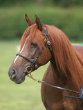 Chestnut Horse Head Shot Royalty Free Stock Images