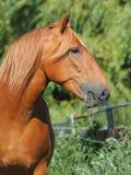 Chestnut Horse Head Shot. A head shot of a beautiful chestnut horse eating grass stock photography