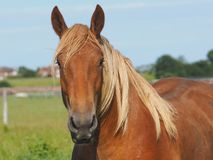 Chestnut Horse Head Shot. A head shot of a beautiful chestnut horse in a paddock stock photos