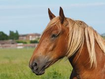 Chestnut Horse Head Shot. A head shot of a beautiful chestnut horse in a paddock stock photo