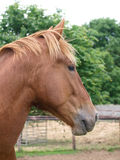 Chestnut Horse Headshot. A head shot of a chestnut horse in a paddock Royalty Free Stock Photos
