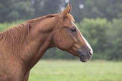 Chestnut Horse Headshot Stock Image