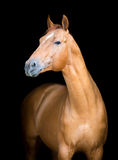 Chestnut horse isolated on black, Don horse Royalty Free Stock Photography