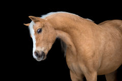 Chestnut horse isolated on black, Welsh pony Stock Photo