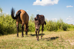 Chestnut horse with little foal Royalty Free Stock Photo