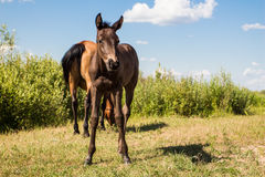 Chestnut horse with little foal Stock Photos