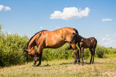 Chestnut horse with little foal Royalty Free Stock Photos