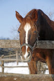 Chestnut horse looking over corral fence Royalty Free Stock Image