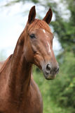 Chestnut horse looking