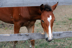 Chestnut Horse Looks out from Enclosure Stock Images