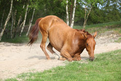 Chestnut horse lying down in the sand in hot summer Royalty Free Stock Photography