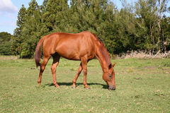 Chestnut horse in the paddock. Beautiful chestnut brown horse grazing in the paddock stock images