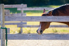 Chestnut horse in pen chewing on fence rail. Eyes are screened from view by the upper rail while the brown stallion bites on the lower rail, showing off his royalty free stock images