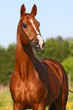 Chestnut horse portrait stock images