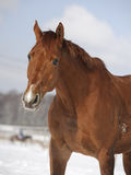 Chestnut horse portrait. In the winter Stock Photo