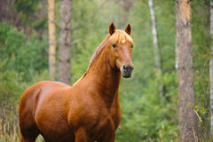 Chestnut horse portrait. In the forest Stock Photography
