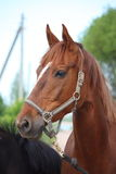 Chestnut horse portrait Stock Image