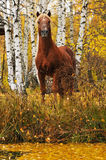 Chestnut horse portrait in autumn. Chestnut stallion portrait in autumn Stock Image