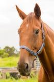 Chestnut horse portrait Royalty Free Stock Photography