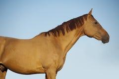 Chestnut horse portrait on blue sky background Royalty Free Stock Photos