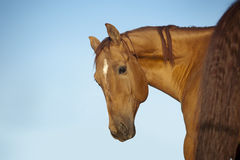 Chestnut horse portrait Stock Photos
