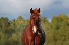 Chestnut horse portrait closeupon autumn forest behind royalty free stock images