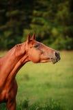 Chestnut horse Stock Image