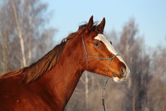 Chestnut horse portrait in winter Royalty Free Stock Photos