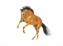 Chestnut horse rearing Stock Image