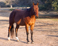 Chestnut horse Royalty Free Stock Photography
