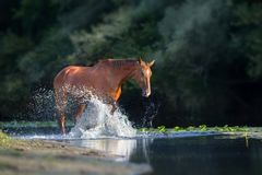 Chestnut horse in river. With splash of water stock images
