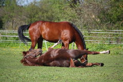 Chestnut horse rolling on the grass in summer Stock Photos