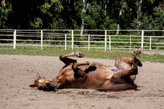 Chestnut horse rolling in the sand Royalty Free Stock Photography