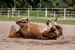 Chestnut horse rolling in the sand Stock Photography