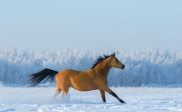 Chestnut horse running across snowy field. Royalty Free Stock Photography