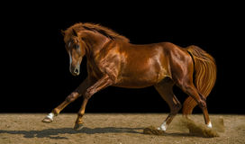 Chestnut horse. Runs on the freedom Stock Image