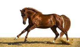 Chestnut horse. Runs on the freedom Stock Photos