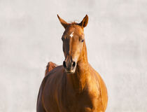 Chestnut horse runs front on wall background Stock Photo