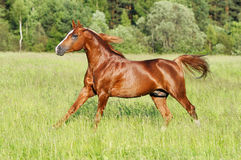 Chestnut horse runs gallop Stock Photos