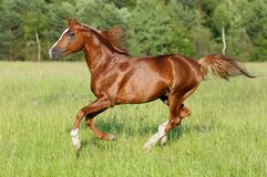 Chestnut horse runs gallop Stock Photography