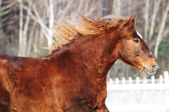 Chestnut horse runs gallop in winter Royalty Free Stock Image