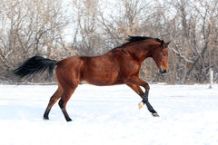 Chestnut horse runs gallop in winter Stock Photography