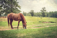 Chestnut Horse in Rural Setting. Beautiful chestnut horse grazing in a rural pasture. Photo has been artistically toned and textured stock photo