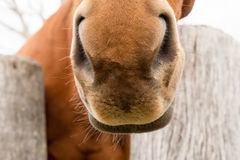Chestnut horse's snout Stock Photo