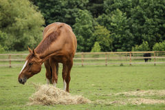 Chestnut horse. Scenic picture of chestnut horse posing in a field eating hay with an enclosure behind Royalty Free Stock Photo