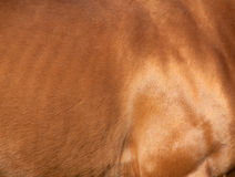 Chestnut horse skin Royalty Free Stock Photo