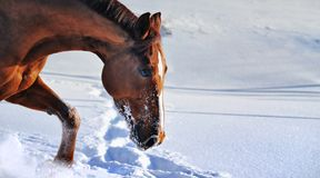 Chestnut horse in snow field Stock Photos
