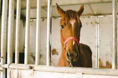 Chestnut Horse in Stall Royalty Free Stock Photos