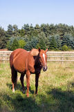 Chestnut horse standing in a field. A chestnut horse standing in a field in England in summer Stock Photo