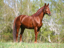 Chestnut horse standing on the field Royalty Free Stock Photography